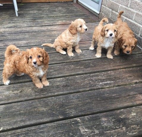 adorable-cavapoo-litters-for-new-homes-big-0