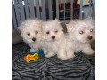 pure-white-maltese-for-new-homes-small-0