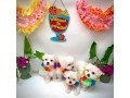 maltipoo-litters-for-new-homes-small-2
