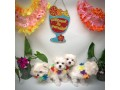 maltipoo-litters-for-new-homes-small-0