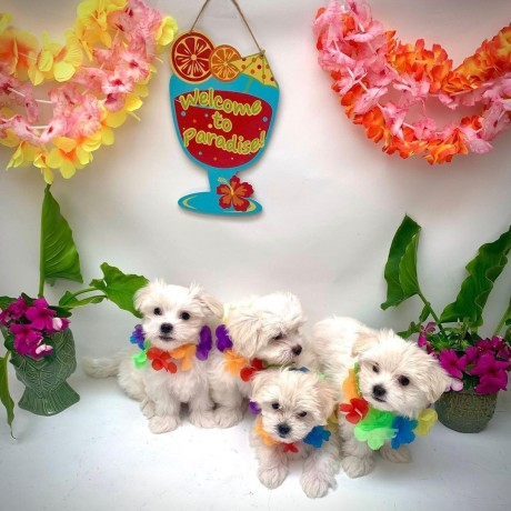maltipoo-litters-for-new-homes-big-2