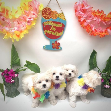 maltipoo-litters-for-new-homes-big-1