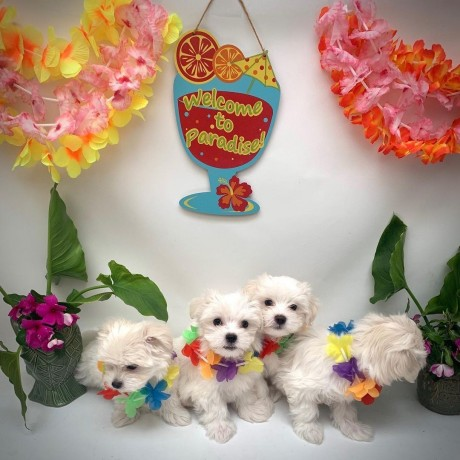 maltipoo-litters-for-new-homes-big-0