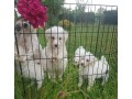 maltese-puppies-available-for-new-homes-small-1