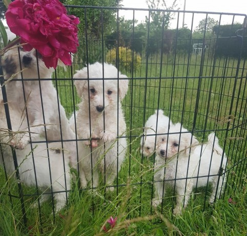 maltese-puppies-available-for-new-homes-big-1