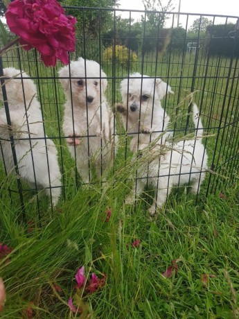 maltese-puppies-available-for-new-homes-big-0