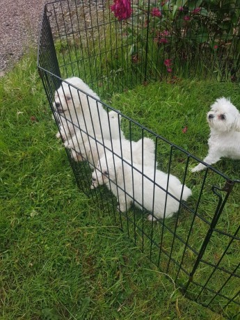 maltese-puppies-available-for-new-homes-big-2