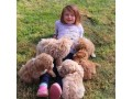 sweet-poodle-puppies-for-new-homes-small-0