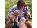 sweet-poodle-puppies-for-new-homes-small-1