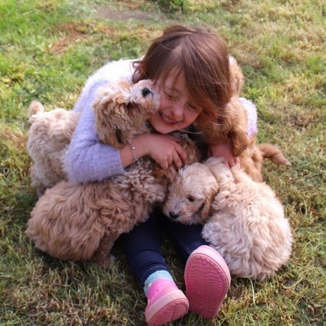 sweet-poodle-puppies-for-new-homes-big-2