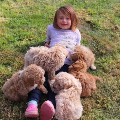 sweet-poodle-puppies-for-new-homes-big-0