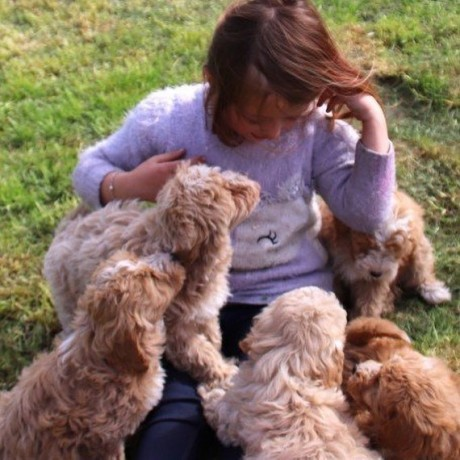 sweet-poodle-puppies-for-new-homes-big-1
