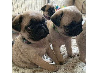 MINI PUG PUPPIES AVAILABLE FOR NEW HOMES