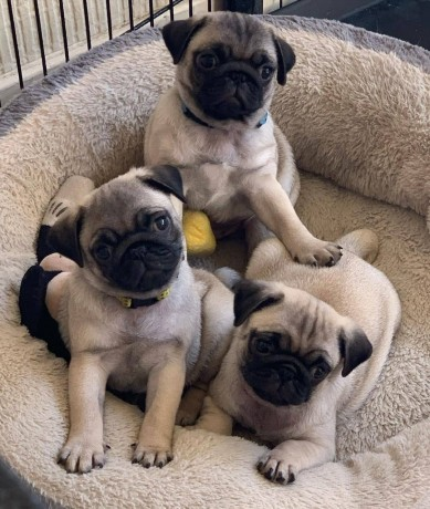 mini-pug-puppies-available-for-new-homes-big-1