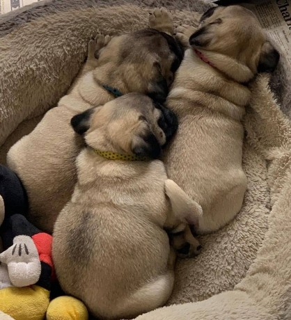 mini-pug-puppies-available-for-new-homes-big-2