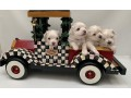 teacup-maltese-puppies-for-new-homes-small-2