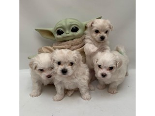 TEACUP MALTESE PUPPIES FOR NEW HOMES