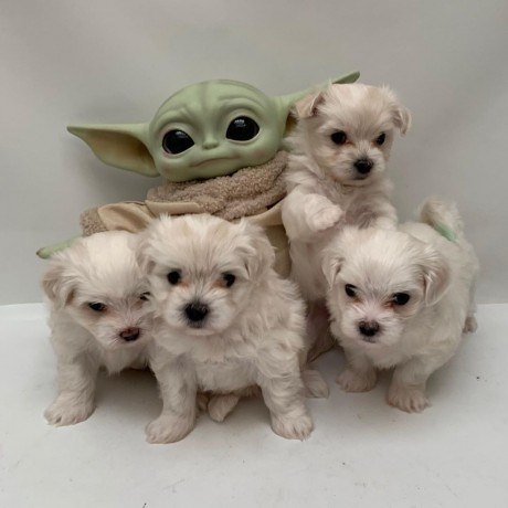 teacup-maltese-puppies-for-new-homes-big-0