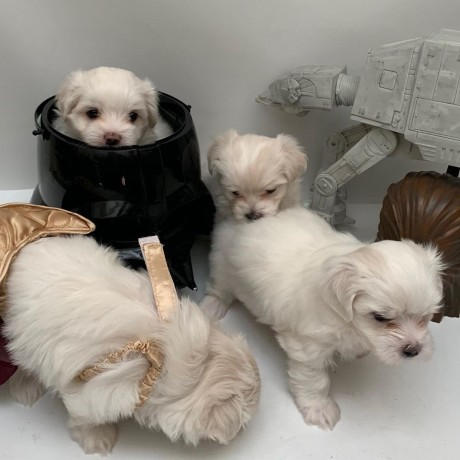 teacup-maltese-puppies-for-new-homes-big-1