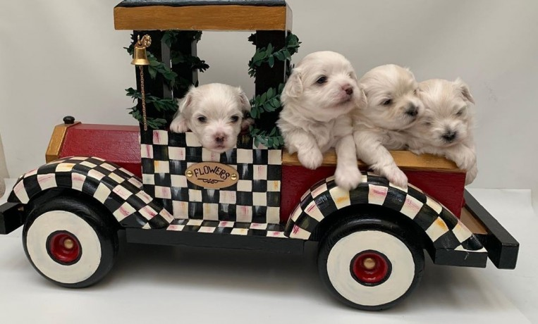 teacup-maltese-puppies-for-new-homes-big-2