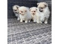 fluffy-pomeranian-puppies-for-new-homes-small-2