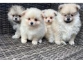 fluffy-pomeranian-puppies-for-new-homes-small-0