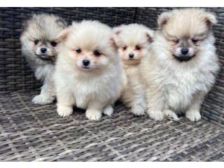 FLUFFY POMERANIAN PUPPIES FOR NEW HOMES