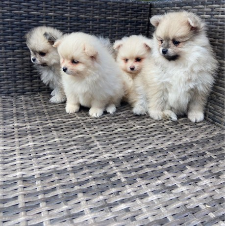 fluffy-pomeranian-puppies-for-new-homes-big-2