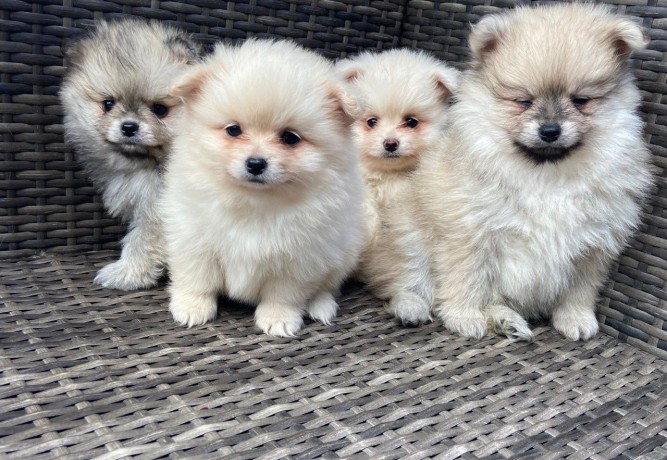 fluffy-pomeranian-puppies-for-new-homes-big-0