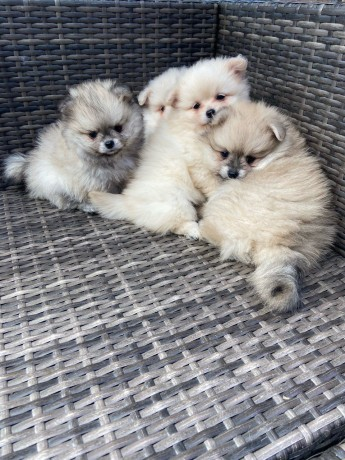 fluffy-pomeranian-puppies-for-new-homes-big-1