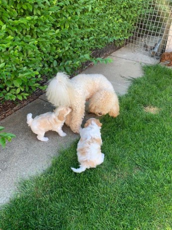playful-maltipoo-puppies-for-new-homes-big-0