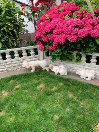 playful-maltipoo-puppies-for-new-homes-big-2