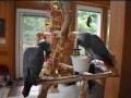 silly-tame-baby-african-grey-parrots-small-0