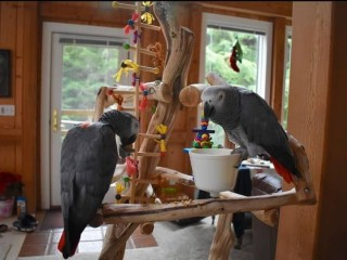 Silly Tame Baby African Grey Parrots