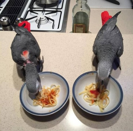 silly-tame-baby-african-grey-parrots-big-2