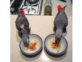 african-grey-parrot-brilliant-talker-inc-cage-small-2