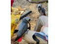 congo-african-grey-parrot-babies-small-0
