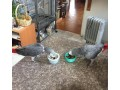 cuddly-cute-tame-african-greys-small-3