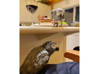 Cuddly & cute tame African greys