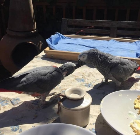 hand-reared-super-tame-african-greys-big-3
