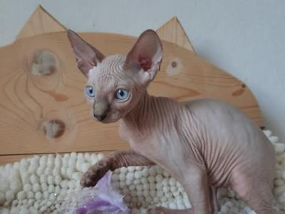 sphynx-and-bengal-kittens-available-big-2