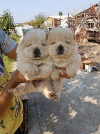 chow-chow-puppies-big-0