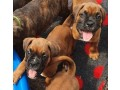 boxer-puppies-for-sale-small-0