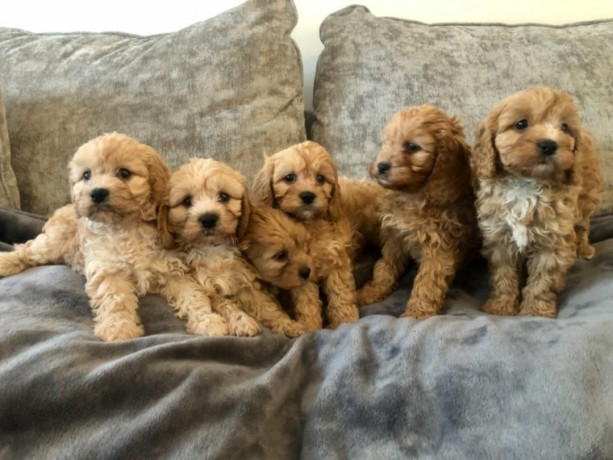 stunning-cavapoos-for-sale-big-0