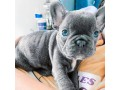 french-bulldogs-small-0