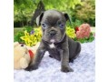 french-bulldogs-small-1