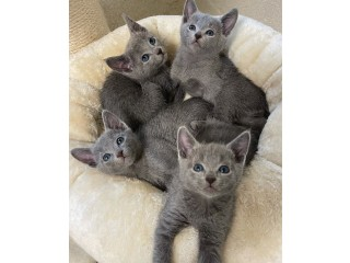 Beautiful Russian blue Kittens Available for sale