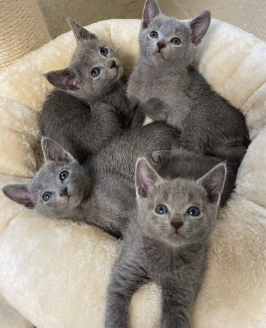 beautiful-russian-blue-kittens-available-for-sale-big-0
