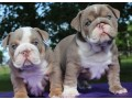 english-bulldogs-for-rehoming-small-1