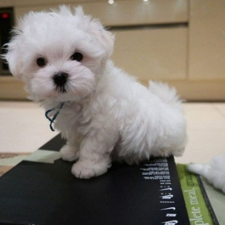 maltese-puppies-for-sale-big-0